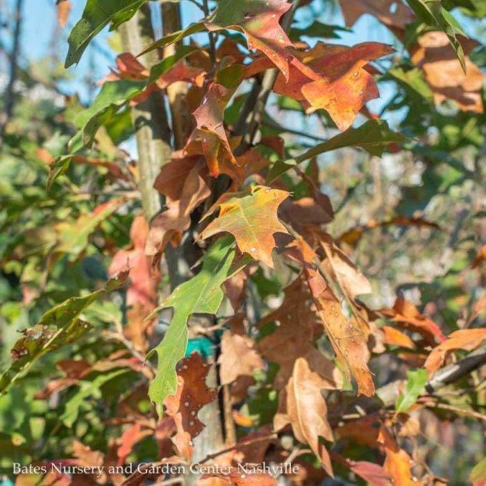 #15 Quercus nuttallii/Nuttall Oak