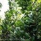 #30 Quercus x warei 'Nadler'/Kindred Spirit Oak Columnar