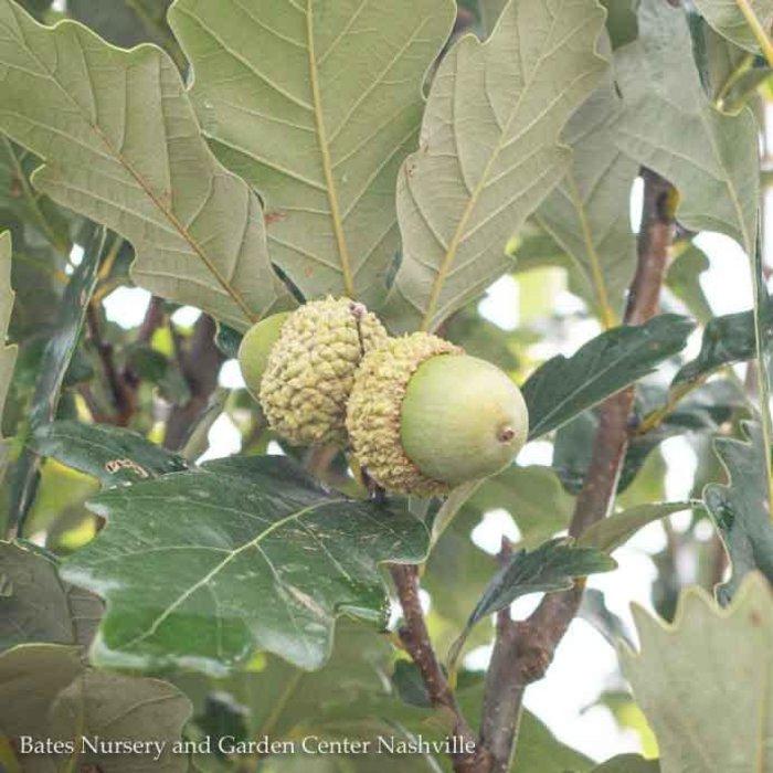 #15 Quercus robur x bicolor Regal Prince/Oak Columnar