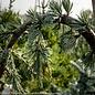 #7 Cedrus atlantica Glauca Pendula/Serpentine Weeping Blue Atlas Cedar