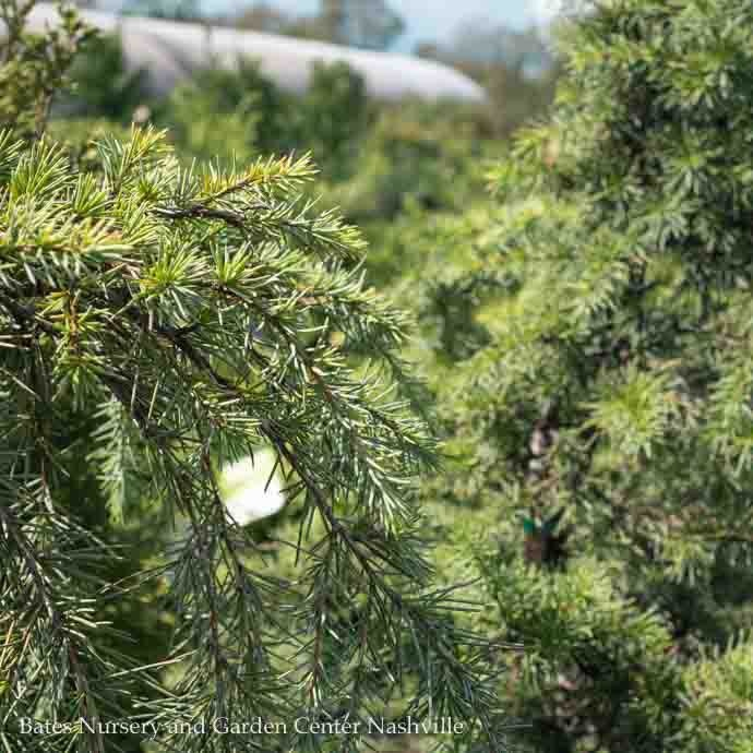 #5 STK Cedrus deodara Feelin Blue/Deodar Cedar