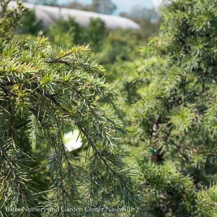 #5 Cedrus deodara Feelin Blue/Deodar Cedar