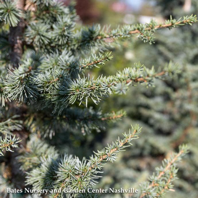 #7 Cedrus atlantica 'Horstmann'/Blue Atlas Cedar