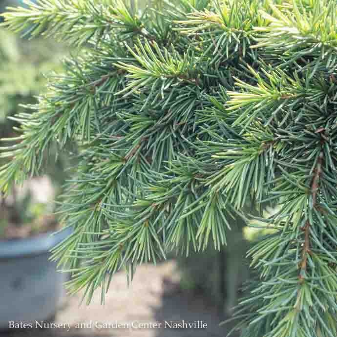 #5 Cedrus deodara Devinely Blue/Deodar Cedar