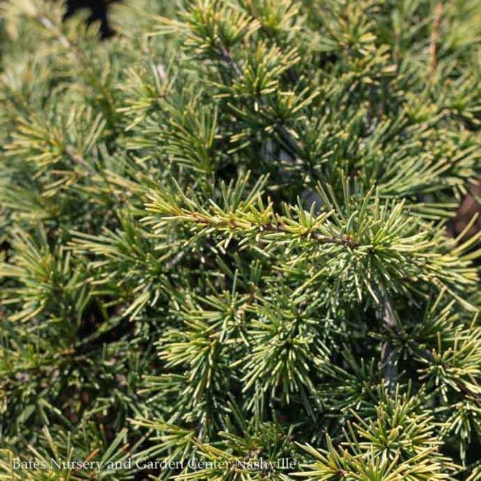 #6 Cedrus deodara Gold Cascade/Deodar Cedar