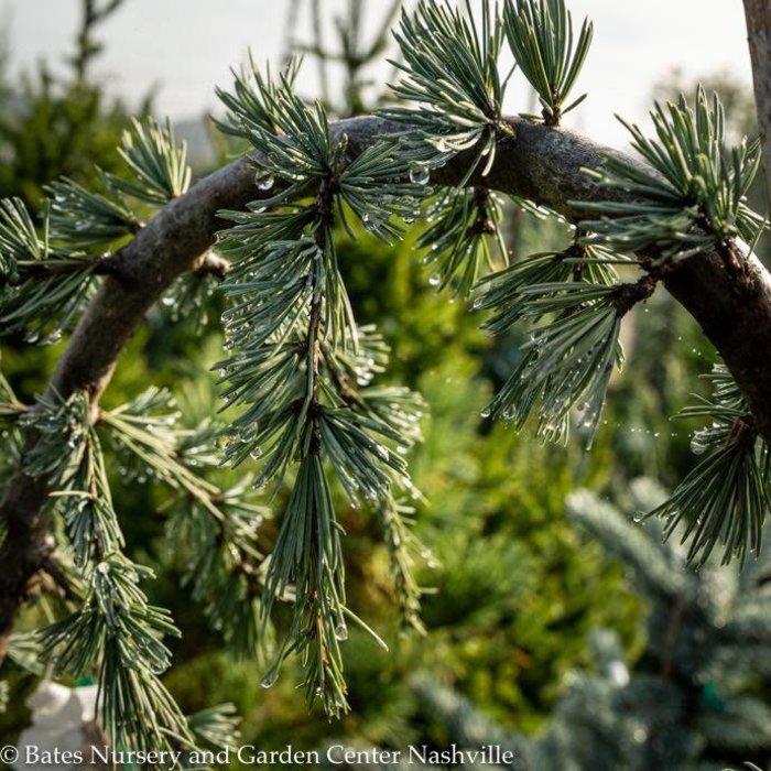 #5 STK Cedrus atlantica Glauca Pendula/Weeping Blue Atlas Cedar