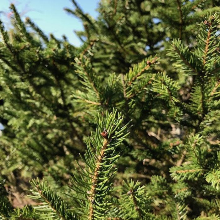 Non-Warranted 5-6' Picea abies/Norway Spruce