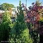 #1 Picea glauca Conica/Dwarf Alberta Spruce NO WARRANTY