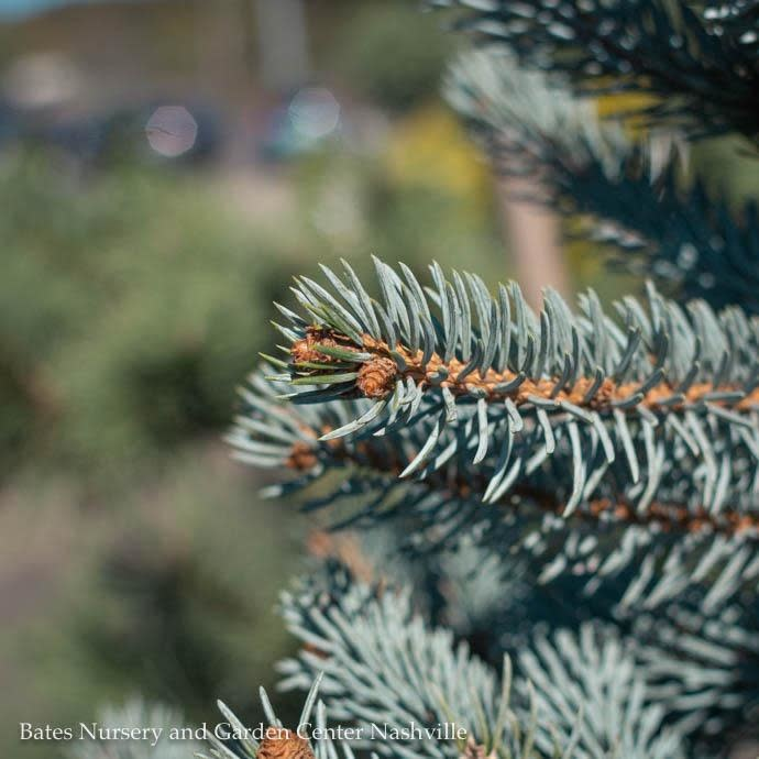 #10 Picea pungens Hoopsii/Blue Spruce
