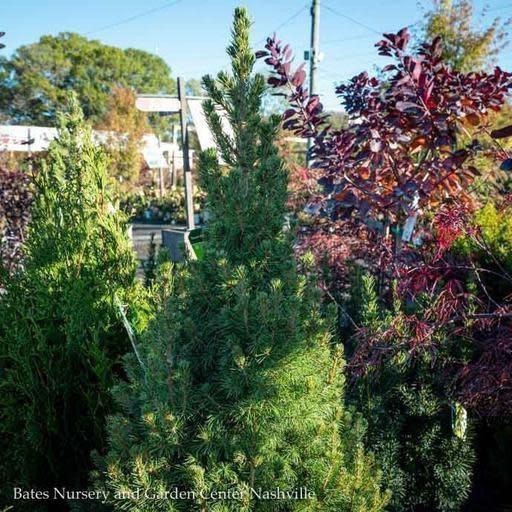 #10 Picea glauca Conica/Dwarf Alberta Spruce NO WARRANTY