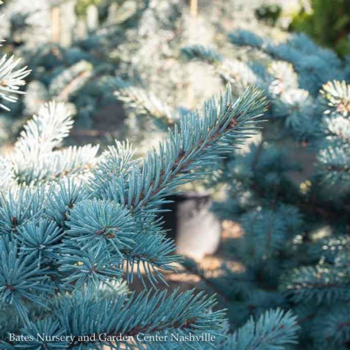 #6 Picea pungens Avatar/Colorado Blue Spruce