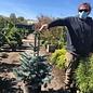 #6 Picea pungens Avatar/Colorado Blue Spruce