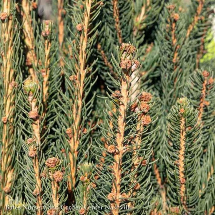 #6 Picea abies Cupressina/Columnar Norway Spruce