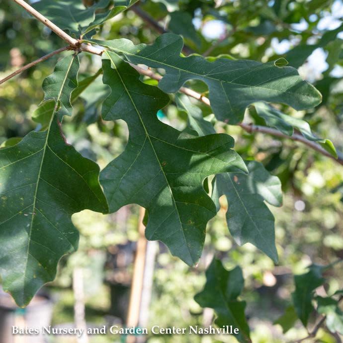 #3 Quercus lyrata/Overcup Oak