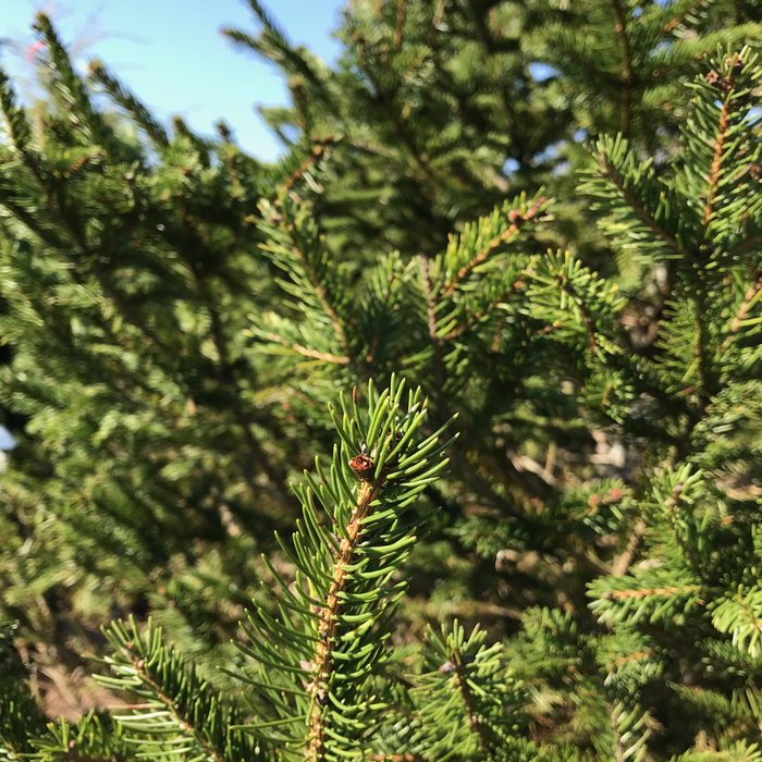 Non-Warranted 6-7' Picea abies/Norway Spruce