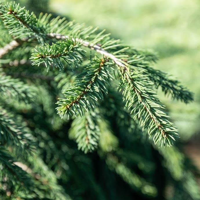 #6 Picea abies Frohburg/Weeping Norway Spruce
