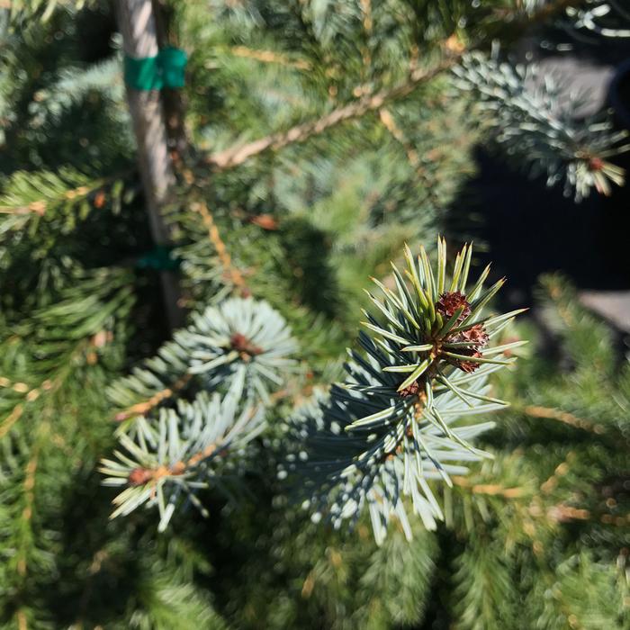 #6 Picea omorika Gotelli Weeping/Serbian Spruce