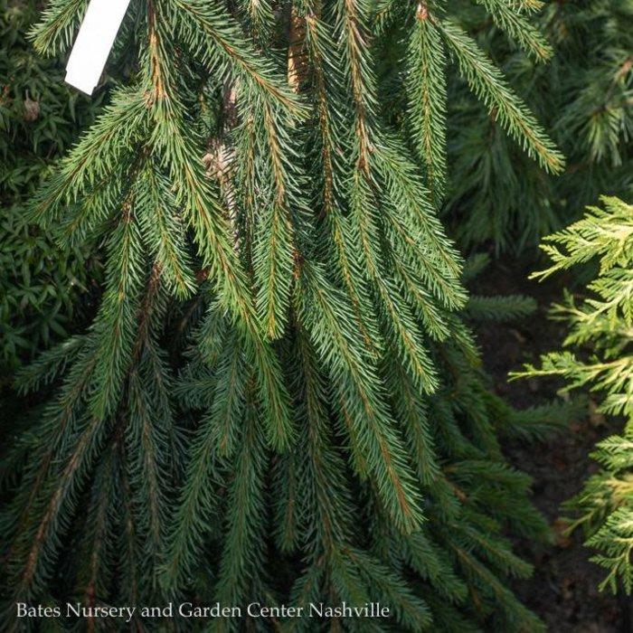 #10 Picea abies Cobra/Norway Spruce