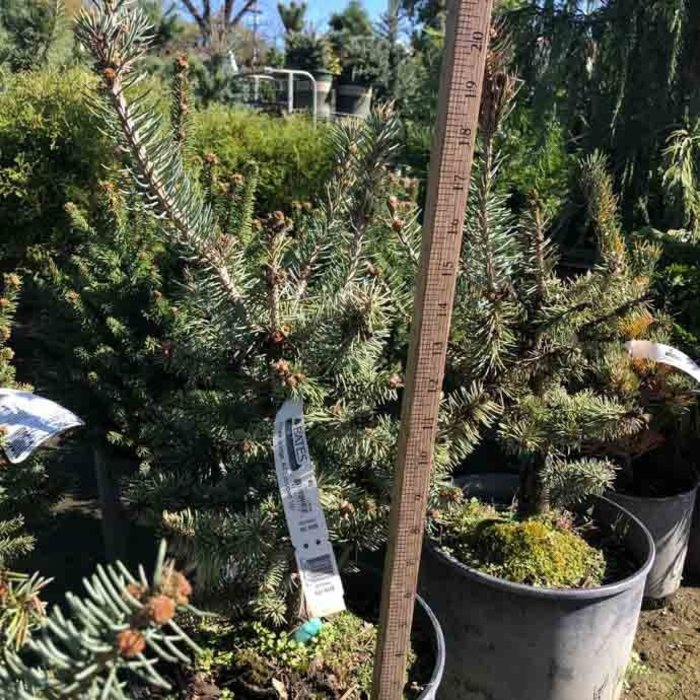 #3 Picea pungens All Spruced Up/Colorado Blue Spruce