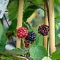 Edible #1 Rubus Black Satin/Blackberry