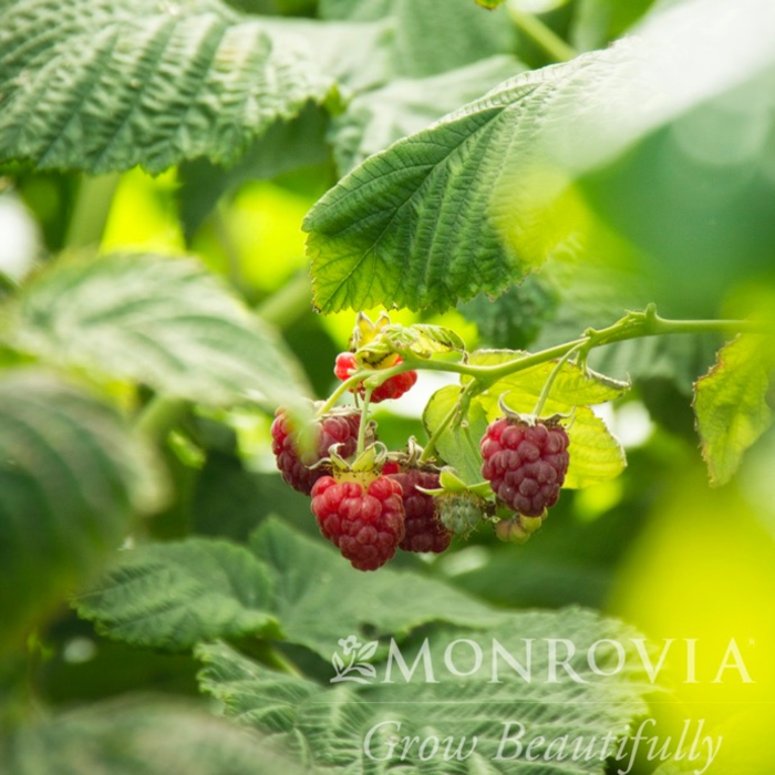 Edible #1 Rubus Canby Red/Raspberry