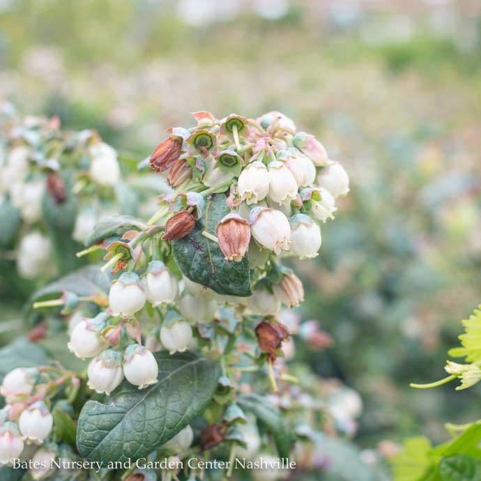 Edible #3 Vaccinium x Sunshine Blue/Southern Highbush Blueberry