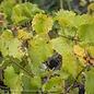 Edible #3 Vitis Tara/Bronze Muscadine Grape