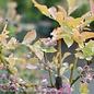 Edible #3 Vaccinium ashei Tifblue/Rabbiteye Blueberry