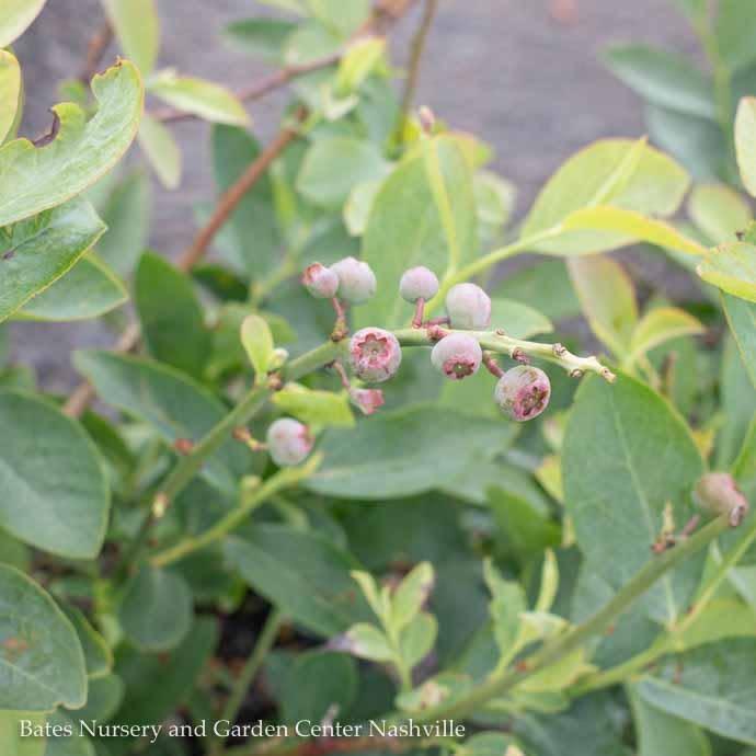 Edible #1 Vaccinium ashei Climax/Rabbiteye Blueberry