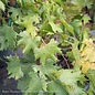 Edible #2 Vitis Southern Home/Muscadine Grape