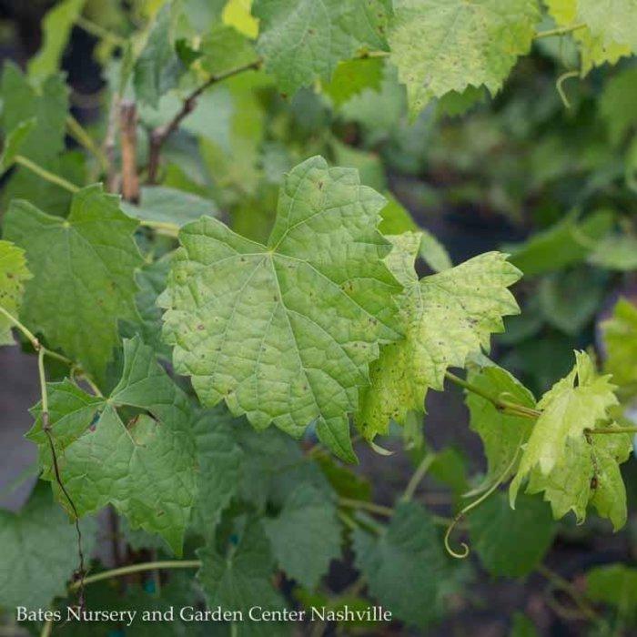 Edible #2 Vitis Carlos/Muscadine Grape
