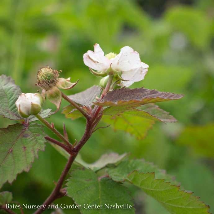 Edible #1 Rubus Triple Crown/Thornless Blackberry