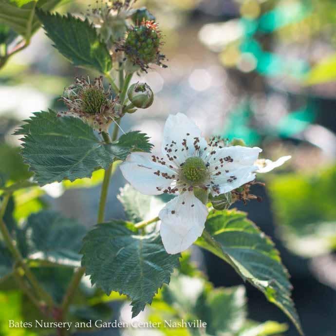 Edible #2 Rubus Natchez/Thornless Blackberry