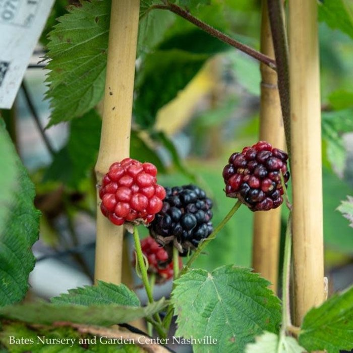 Edible #1 Rubus Black Satin/Thornless Blackberry