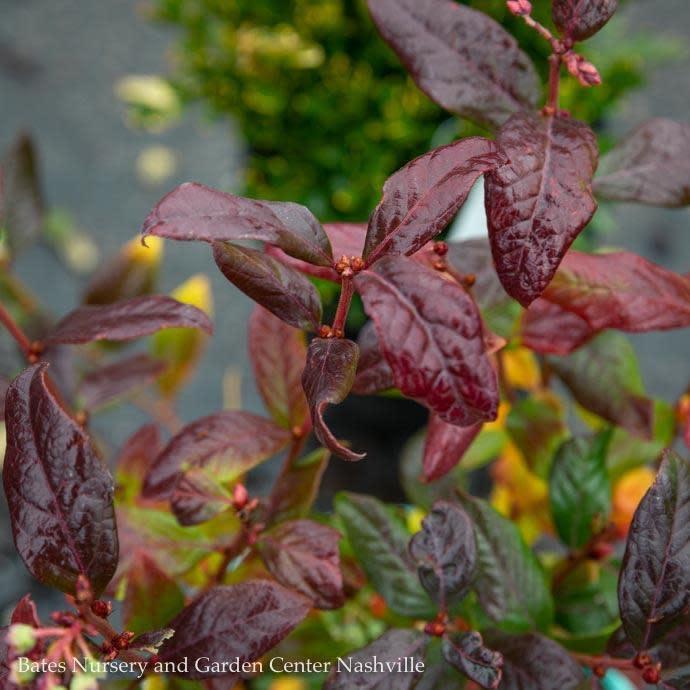 Edible #1 Vaccinium x Bushel and Berry Perpetua/Hybrid Blueberry