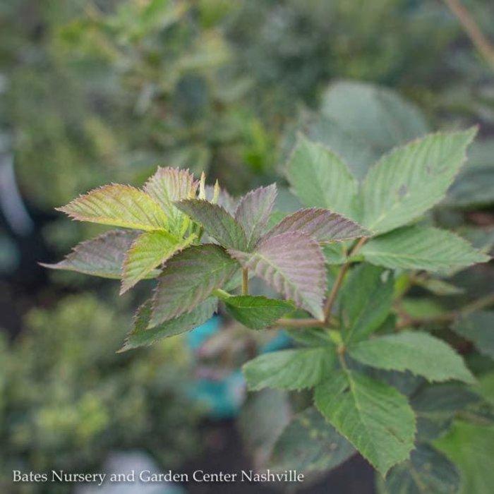 Edible #1 Rubus Arapaho/Thornless Blackberry