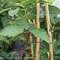 Edible #2 Rubus Prime Ark Freedom/Thornless Blackberry