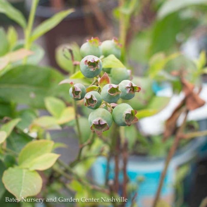 Edible #1 Vaccinium For Heaven's Sake/Blueberry