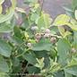 Edible #3 Vaccinium ashei Climax/Rabbiteye Blueberry
