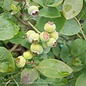 Edible #2 Vaccinium Bushel and Berry Silver Dollar/Blueberry