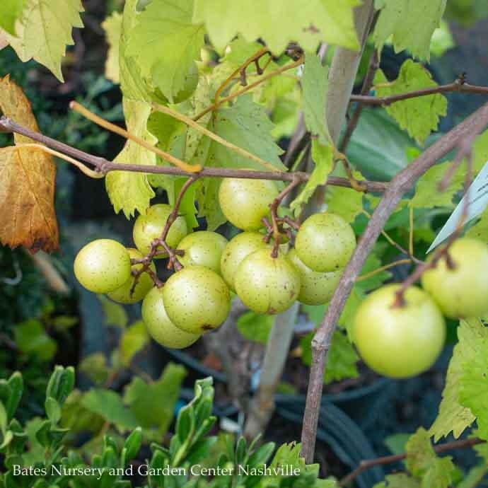 Edible #3 Vitis Triumph/Muscadine Grape