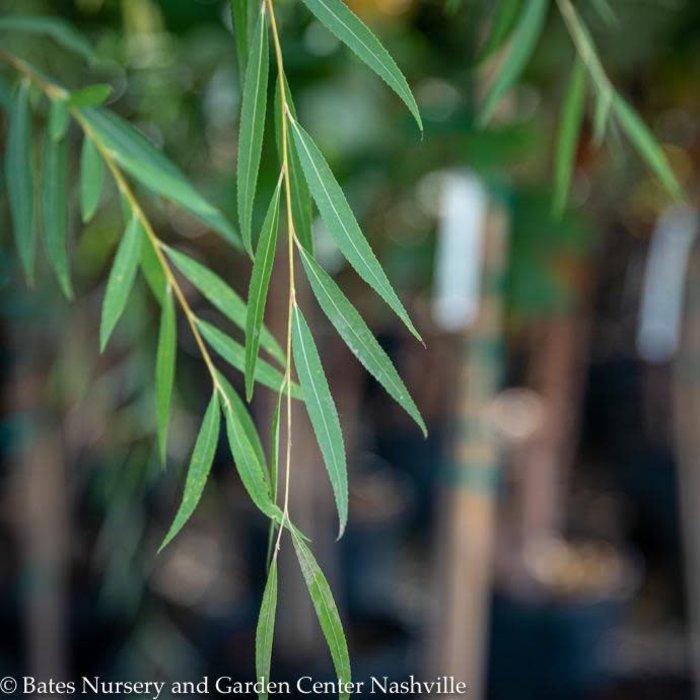 #7 Salix babylonica Wisconsin/Weeping Willow