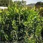 #15 Buxus sempervirens Green Tower/Columnar Boxwood