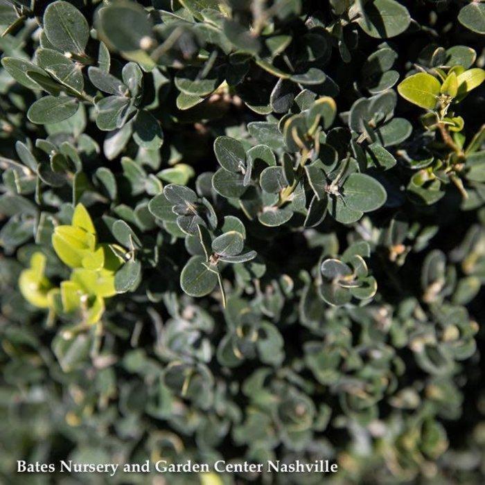 #3 Buxus x Green Mountain/Boxwood