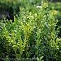 #7 Buxus sempervirens/American Boxwood