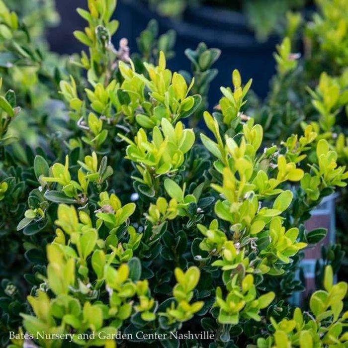 #1 Buxus sinica var. insularis 'Justin Brouwers'/Dwarf Korean Boxwood