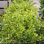 #2 Buxus microphylla Golden Triumph/Variegated Boxwood