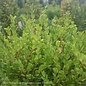 #5 Cone Buxus micro var japonica Winter Gem/Boxwood Pyramidal