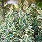 #1 Buxus Emerald Moon/Boxwood