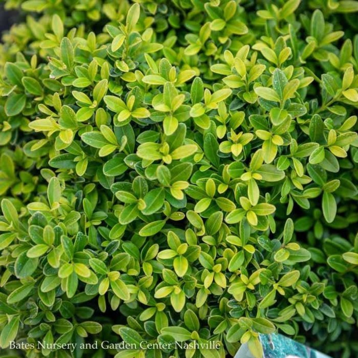 #2.5 Buxus Grace Hendrick Phillips/Boxwood